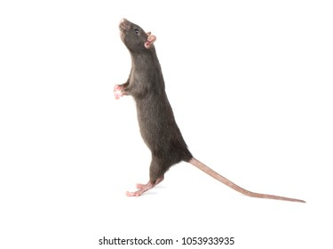 Gray rat standing on hind legs on white background