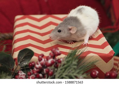 Gray rat symbol of 2020 sits on a New Year's gift