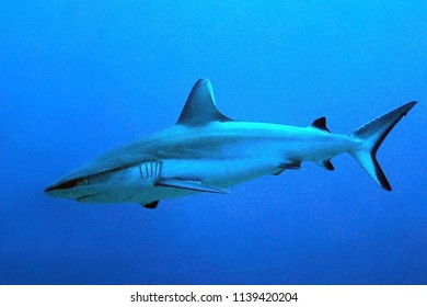 Gray Reef Shark (Carcharhinus amblyrhynchos) in the Blue. South Male Atoll, Maldives