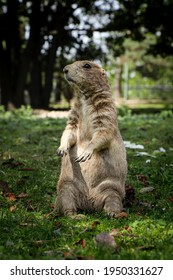 gray rodent standing like a statue on its hind legs defending its territory. Cynomys ludovicianus on guard. Black-tailed prairie dog protects its pack. Food chain link.