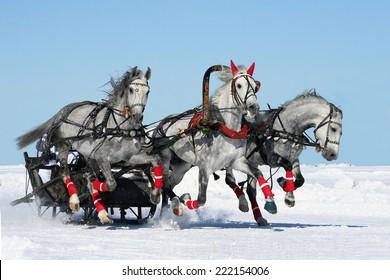 Gray russian troika. white horses. isolated.