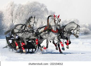Gray russian troika. white horses