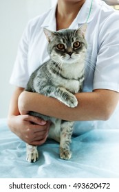 gray Scottish cat in the good hands of a veterinarian, the doctor carefully calms the patient