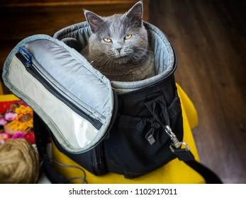 Gray Scottish cat sitting in a bag