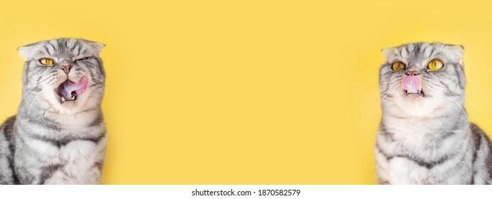 The gray Scottish Fold cats licks its lips amusingly, stuck out its tongue. Cute pet. Yellow background, close-up portrait.
