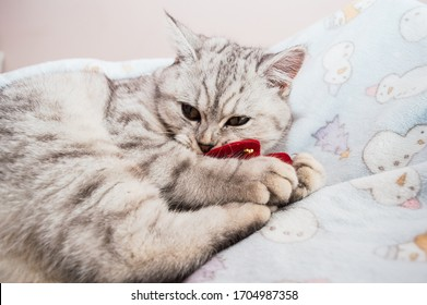 A gray Scottish kitten is playing with a gift heart. Funny beautiful pussy.