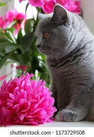 Gray Scottish purebred kitten and pink peony
