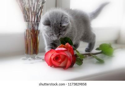Gray Scottish purebred kitten and red rose