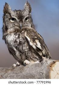 Gray Screech Owl sitting on a branch