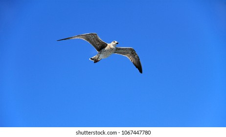 Gray seagull hovers in a clear blue sky.