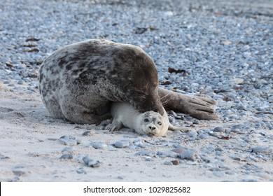 Gray seal bull pairing Harbor Seal Helgoland Germany