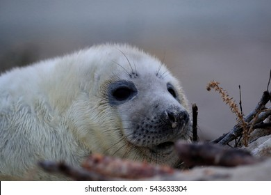 Gray Seal (Halichoerus grypus) Pup Helgoland Germany
