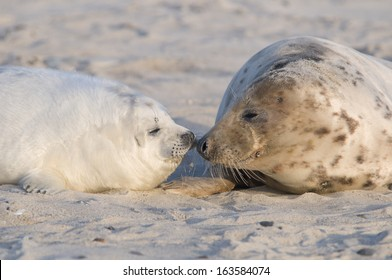 Gray seal (Halichoerus grypus), Wadden Sea, North Sea, Germany