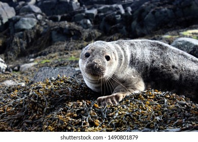 Gray seal portrait on Isle of May #4