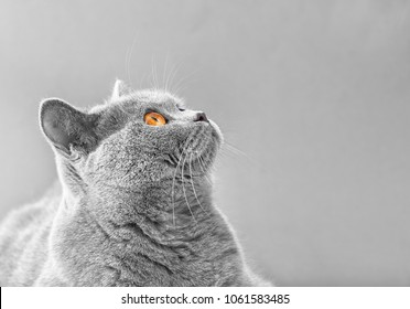 Gray short haired British cat close up. Beautiful cat on isolation looking up