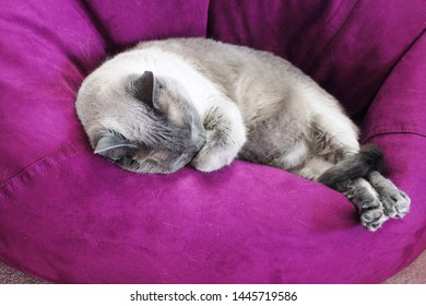 A gray Siamese cat with dark gray points covers his face with his paw as he sleeps with his tail tucked around his back legs on a purple bean bag chair.