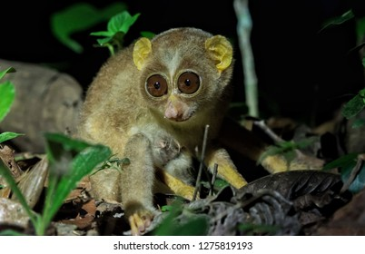 Gray slender loris The gray slender loris is a species of primate in the family Loridae. It is found in India and Sri Lanka. Its natural habitats are subtropical or tropical moist lowland forests.