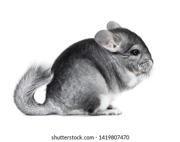 Gray small chinchilla eating isolated on white background