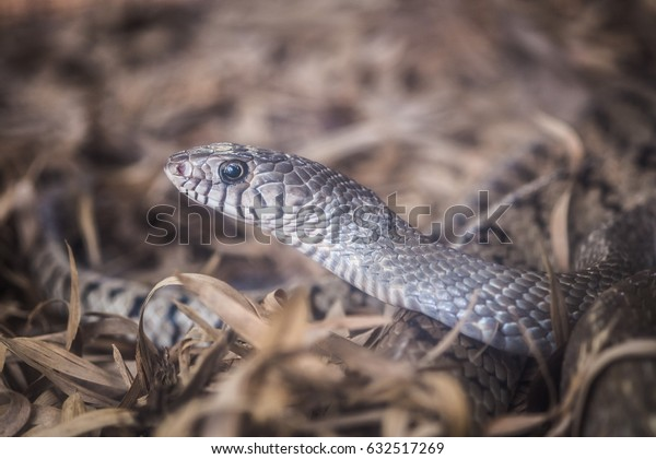 The gray snake