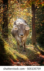 Gray spanish cow in the forest