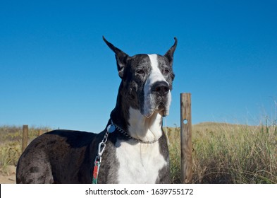 Gray speckled great dane sitting outside
