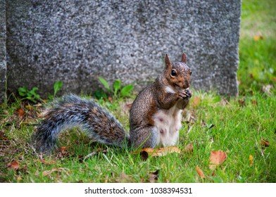 A gray squirrel eats a chestnut in an autumn park