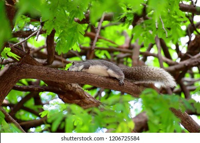 Gray squirrel with long tail is runing on a branch of tree.