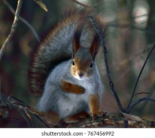 Gray squirrel on tree.
