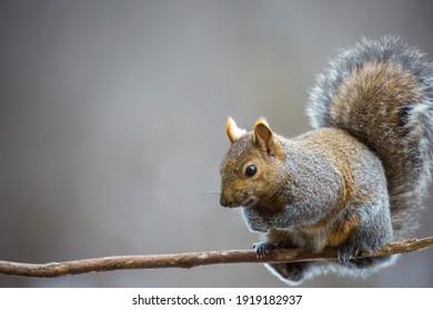 Gray Squirrel (Sciurus carolinensis) sitting on a small branch in Wisconsin, horizontal