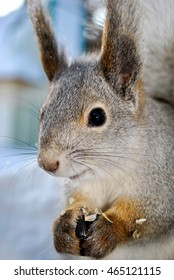 A gray squirrel sits on snow and eats seeds