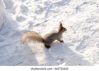 A gray squirrel sits in the snow