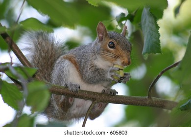 A gray squirrel snacking on a nut while perched on a branch.