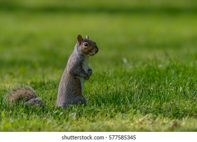 A gray squirrel stands on a lawn attentive to its surroundings.