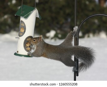 A gray squirrel stretches to steal seeds from a bird feeder.