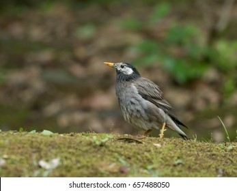 Gray Starling looking up  in the forest