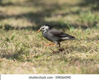 Gray Starling walking along the grassland