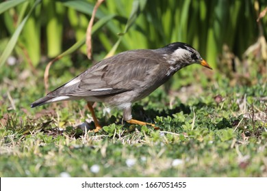 The gray starling which walks the open field