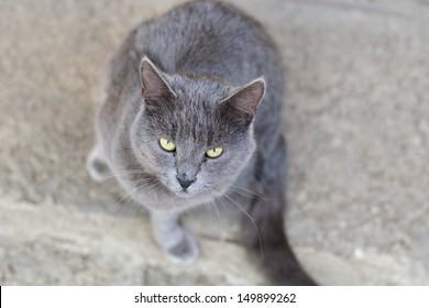 Gray stray cat