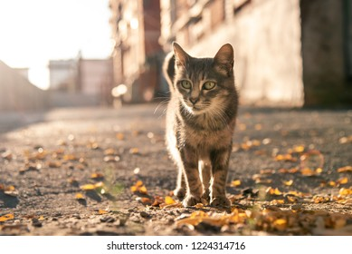 a gray stray cat is walking along the sidewalk with yellow leaves. abandoned pet. cat in back sunlight. street animal