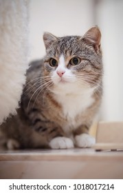 The gray striped domestic cat with white paws, sits.