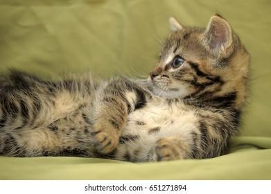 Gray striped kitten on green background