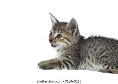 Gray striped kitten. Kitten on a white background. Small predator. Small gray kitten isolated on white background