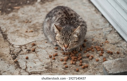 Gray striped street kitten of mixed breed eats dry cat food. Hungry, lonely young cat has found food and eats with pleasure and greed. Kitten is mongrel.