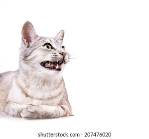 gray striped tabby cat Isolated on white background