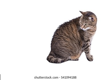 Gray striped tabby cat Isolated on white background, copy space.