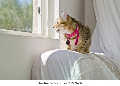 Gray Tabby Cat Chirping at Window