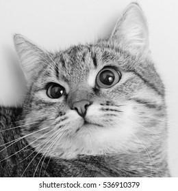Gray tabby cat inquiring look, close-up.
