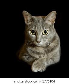Gray tabby cat isolated on black