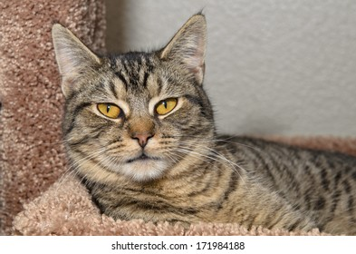 Gray tabby cat laying on soft brown bed