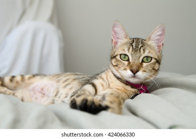 Gray Tabby Cat Laying on Bed